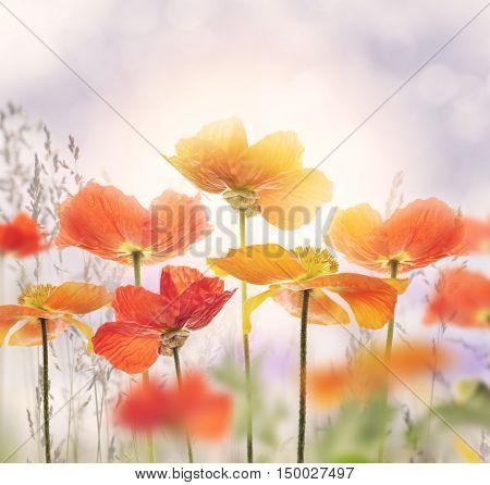 Poppy Flowers Blossom in a Meadow