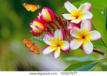 white , pink and yellow Plumeria spp. (frangipani , Frangipani , Pagoda tree or Temple tree ) and Common Tiger butterfly (Danaus genutia) flying on natural light background