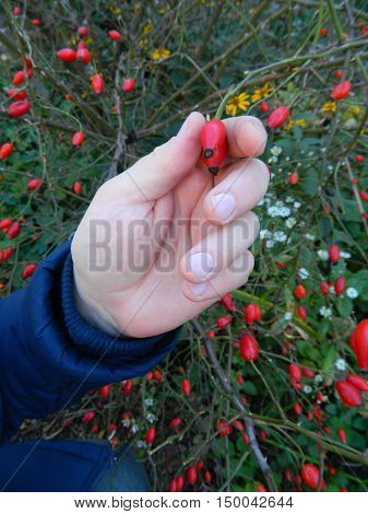 Men Hand in jacket vzal red rosehip berries. Against the background of thorny twigs and berries.