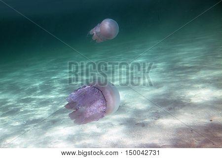 Jellyfish underwater photo diving in black sea