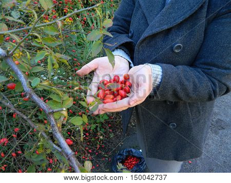 Hands folded in the shape of a heart in the hands of a woman holding red rose hips.