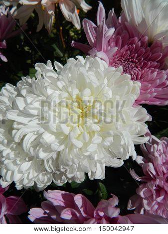 Large white chrysanthemum among white and purple chrysanthemums. Big beautiful petals. Flowers gentle fall.
