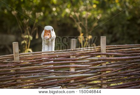 White goose stretching its neck over a fence - Bird portrait with a white goose stretching its neck over the farm wattled fence