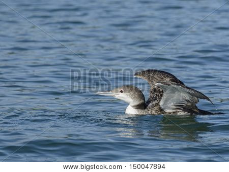 A Common Loon (Gavia immer) swimming on a lake in York County Pennsylvania while on its way south as it migrates for the winter.