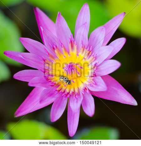 Pink lotus blossoms or water lily, flowers blooming on pond,Pink lotusPink flower