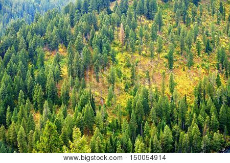Forest of green pine trees on mountainside in autumn with colors and beauty