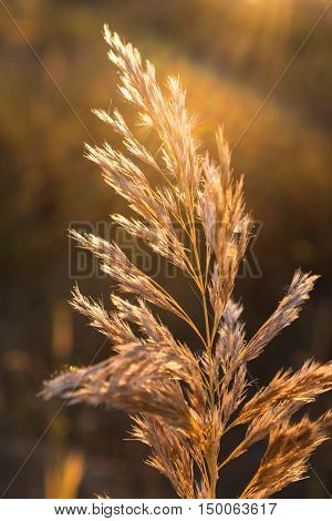 Dry wildflower - perennial herb on meadow on natural blurred autumn broun background in sunlight.