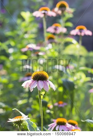 Flowers Of A Purple Coneflower In Sunlight.