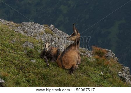 Two chamois adult and young. Tatry. Poland
