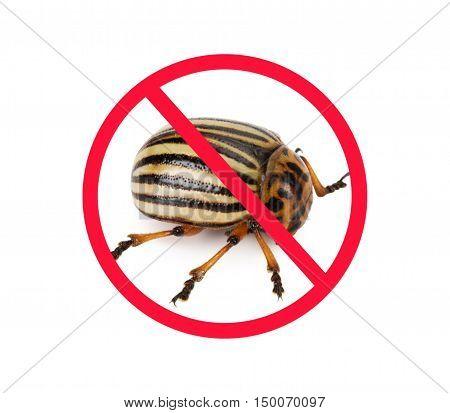colorado potato beetle isolated on the white background.