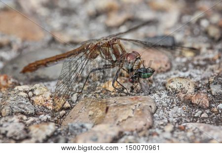 a dragonfly eating a green bottle fly on a stone path in a park in nature