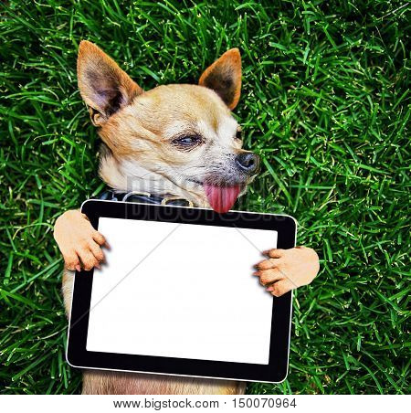 a cute chihuahua with his paws in the air on green grass holding a blank tablet media pad with blank space for text