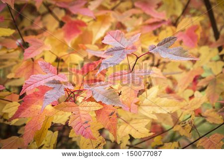 horizontal background image of orange and yellow fall leaves filling the whole image.