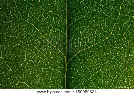 Illuminated tree leaf macro green background mac