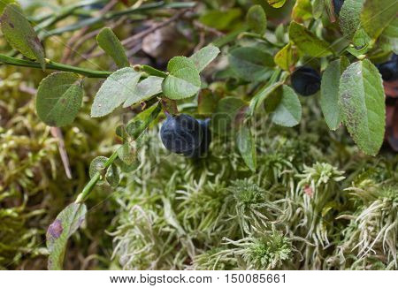 The blueberry Bush and pine cone closeup. Natural background