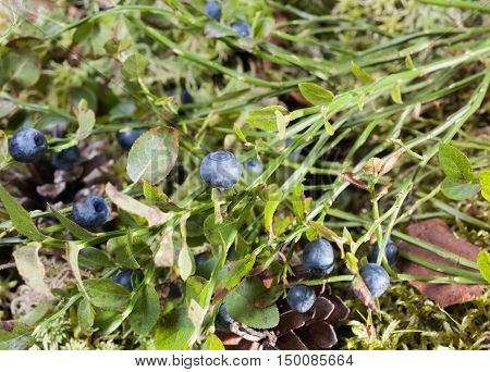Bush of ripe blueberry forest. Live nature. Forest.
