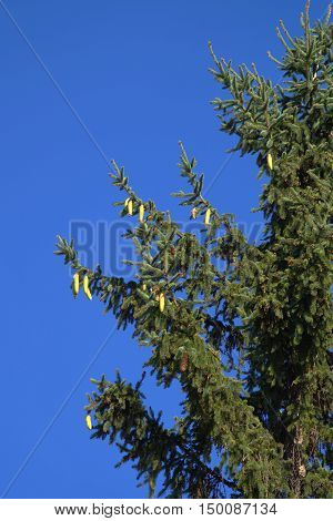 Spruce branch with young cones on a background of blue sky. poster