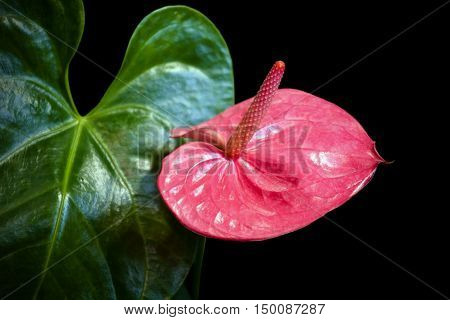 Pink flower- Anthurium is blossoming in botanic garden