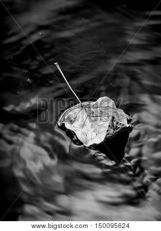 B&W of leaf on water. A B&W image of a leaf floating in calm water.