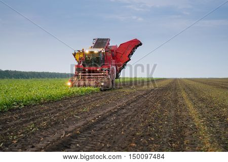 KRASNODAR REGION, RUSSIA - AUG 18, 2015: Combine harvester harvest of ripe sugar beet at evening, In 2015 in Krasnodar region yields reached record level - 58.4 centners per hectare