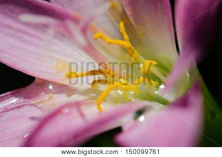 Lotus soil purple beautiful cool comfortable drip. Lotus pollen soil