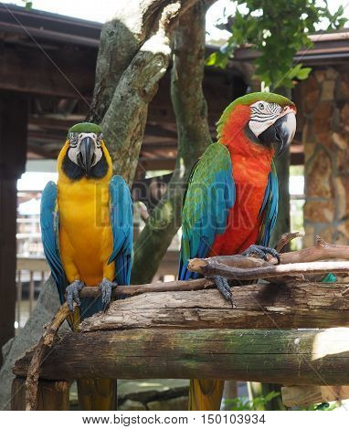 two bright colored macaw parrots perched on a tree limb