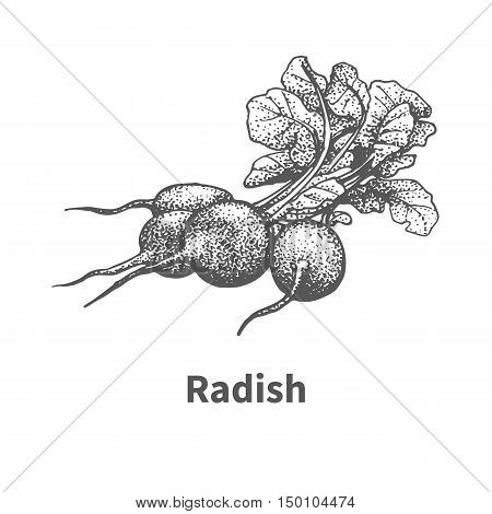 Vector illustration doodle black and white hand-drawn radish. Isolated on white background. The concept of harvesting. Vintage style. Plant with the inscription.
