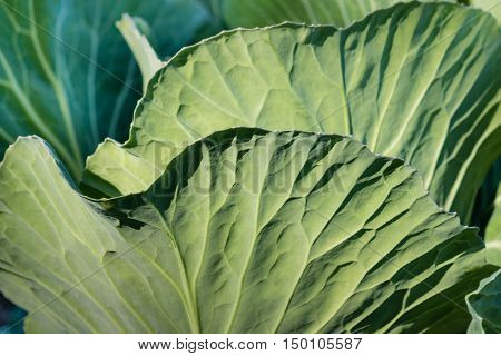 close up of sunlit white cabbage leaves