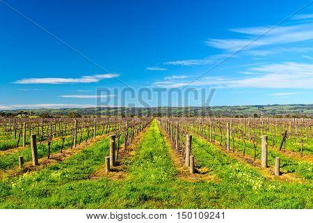 Grape vines in McLaren Vale South Australia.
