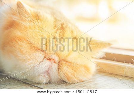 exotlc shorthairs cat sleeping on floor with sunlight