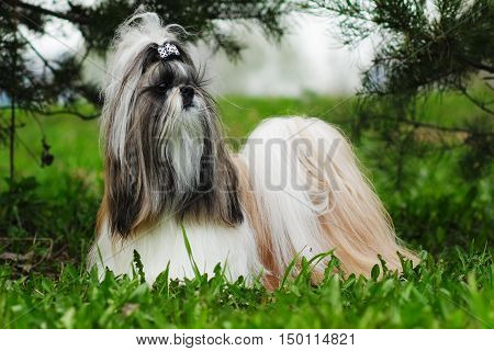Beautiful decorative dog breed the Shih Tzu is in the summer outside in full growth. A glamorous companion for girls and family