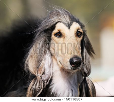 Pedigree Afghan borzoi dog outdoors portrait over blurry background