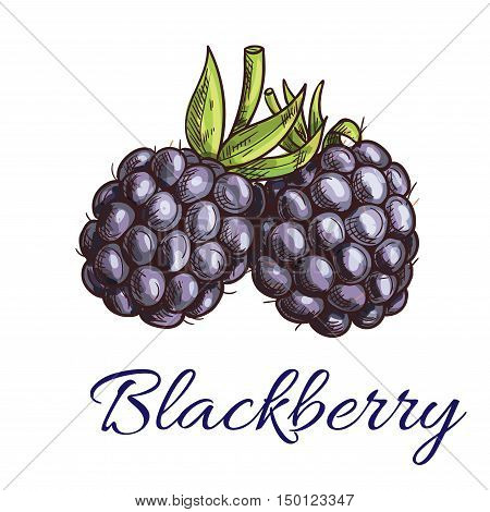 Fresh blackberry fruit sketch. Summer ripe black berries with green curly stem. Vegetarian dessert, juice packaging, agriculture theme design