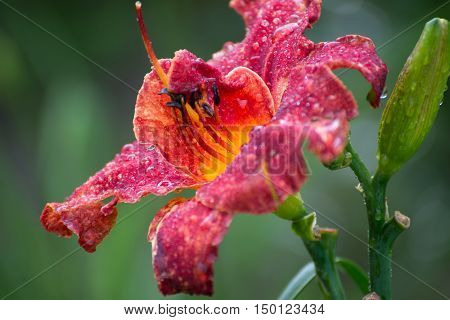 Beautiful red daylily in water drops after a rain
