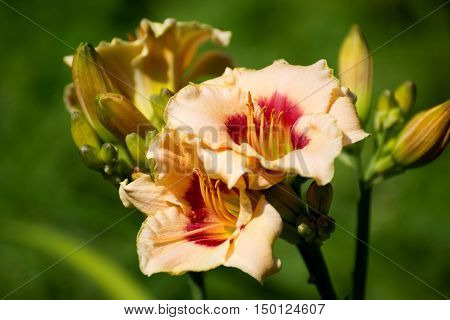 Beautiful orange varietal daylily on a bed
