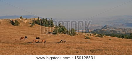 Wild Horse Herd in afternoon sunlight on Sykes Ridge in the Pryor Mountain Wild Horse Range in Montana - Wyoming USA