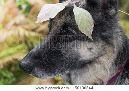 Dog with a distant gaze in alert hiding in the bushes outdoor side shot