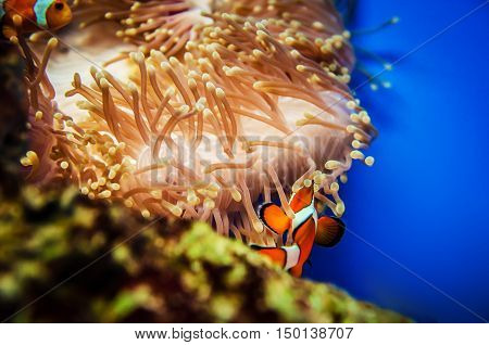 Anemonefish and coral in deep blue sea