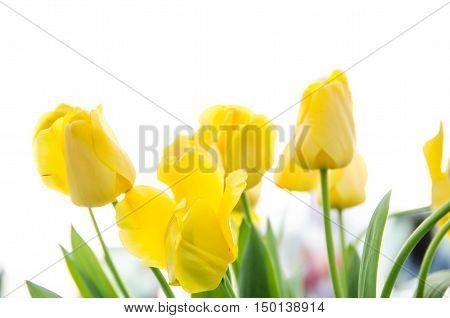 yellow tulip on white background copy space