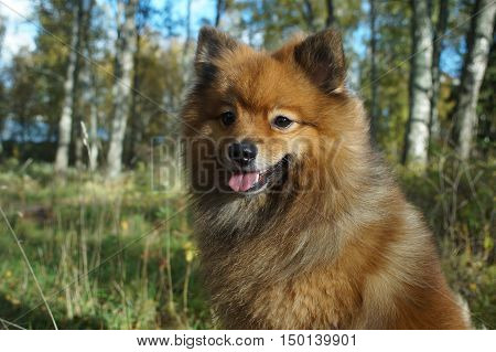 the dog-man's best friend the German Spitz is beautiful in the Golden autumn