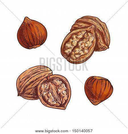 Hazelnut and walnut sketch. Healthful natural nuts for vegetarian snack symbol, confectionery dessert recipe, healthy food design