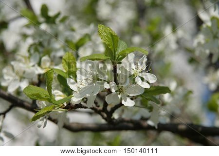 White cherry blossom in spring, Moscow region