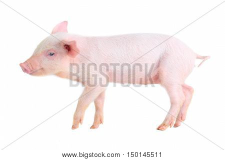 pink piglet isolated on white background. studio