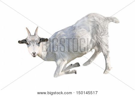 the goat isolated on a white background