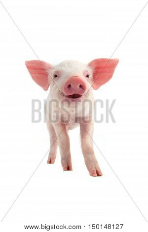The smile piglet on a white background