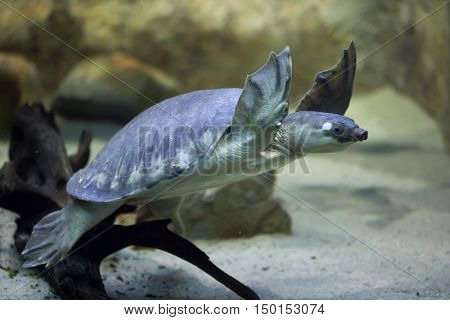 Pig-nosed turtle (Carettochelys insculpta), also known as the Fly River turtle. Wildlife animal.