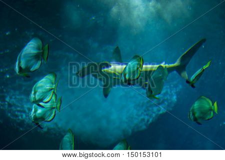 Scalloped hammerhead (Sphyrna lewini) and orbicular batfishes (Platax orbicularis).