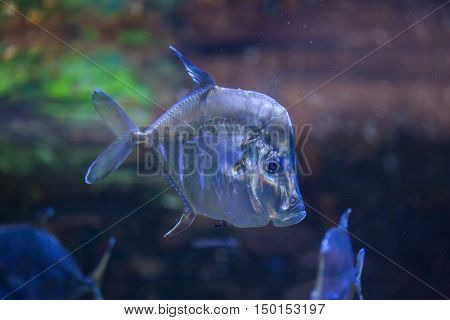 Lookdown (Selene vomer). Marine fish.