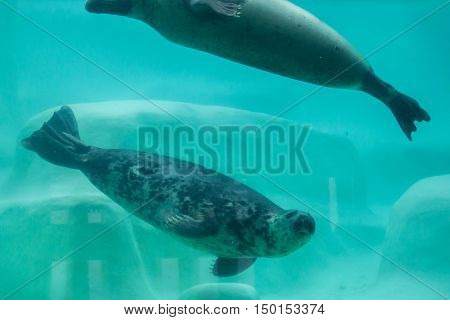Grey seals (Halichoerus grypus), also known as the Atlantic seals.