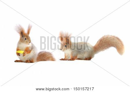 two squirrels with apple on a white background